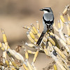 Varsler / Great Grey Shrike<br /> Tenerife, Spania 29.12.2014<br /> Canon EOS 7D Mark II + Tamron 150 - 600 mm 5,0 - 6,3 G2