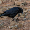Ravn / Common Raven<br /> Tenerife, Spania 27.12.2016<br /> Canon 7D Mark II + Tamron 150 - 600 mm 5,0 - 6,3 G2