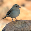 Blåfink / Blue Chaffinch <br /> Tenerife, Spania 27.12.2016<br /> Canon 7D Mark II + Tamron 150 - 600 mm 5,0 - 6,3 G2