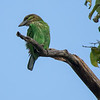 Grønnkinnskjeggfugl / Green-eared Barbet<br /> Kaeng Krachan, Thailand 1.2.2018<br /> Canon 7D Mark II + Tamron 150 - 600 mm 5,0 - 6,3 G2