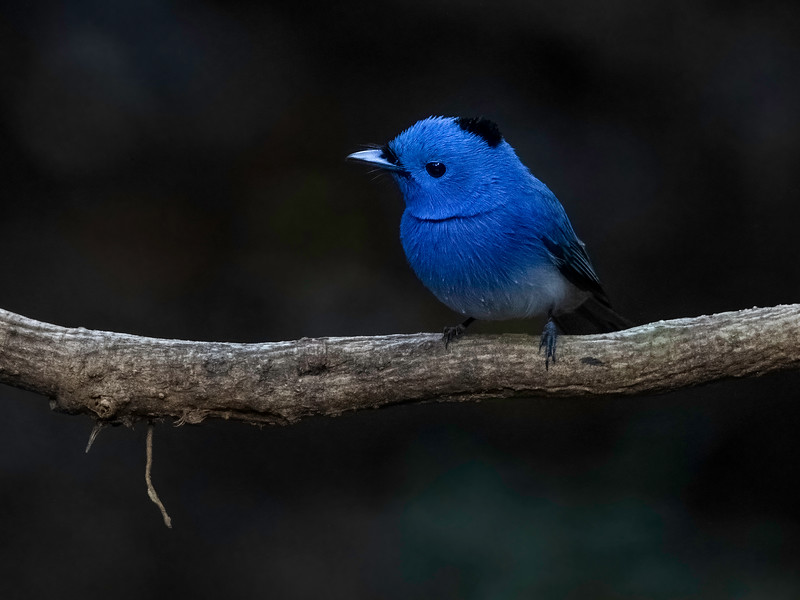 Svartnakkemonark / Black-naped Monarch<br /> Kaeng Krachan, Thailand 31.1.2018<br /> Canon 7D Mark II + Tamron 150 - 600 mm 5,0 - 6,3 G2