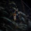 Golden Web Spider (Nephila pilipes)<br /> Kaeng Krachan, Thailand 1.2.2018<br /> Canon Powershot G5X