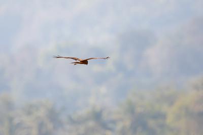 Østsivhauk / Eastern Marsh Harrier<br /> Thaton rice fields, Thailand 10.2.2018<br /> Canon 7D Mark II + Tamron 150 - 600 mm 5,0 - 6,3 G2
