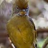 Oransjekroneminla / Chestnut-tailed Minla<br /> Doi Inthanon, Thailand 6.2.2018<br /> Canon 7D Mark II + Tamron 150 - 600 mm 5,0 - 6,3 G2 @ 329 mm