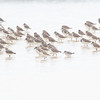 Vadere / Waders<br /> Pak Thale, Thailand 3.2.2018<br /> Canon 7D Mark II + Tamron 150 - 600 mm 5,0 - 6,3 G2