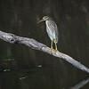 Vinhegre el. Damhegre /Chinese or Javan Pond Heron<br /> Kaeng Krachan, Thailand 1.2.2018<br /> Canon 7D Mark II + Tamron 150 - 600 mm 5,0 - 6,3 G2