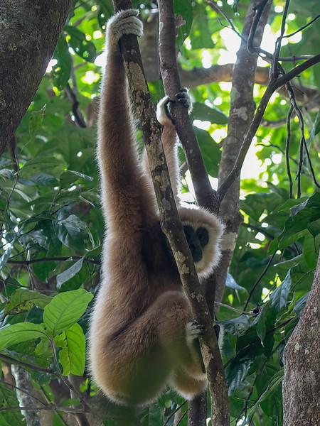 Gibbon<br /> Kaeng Krachan, Thailand 1.2.2018<br /> Canon 7D Mark II + Tamron 150 - 600 mm 5,0 - 6,3 G2 @ 150 mm