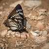 Sommerfugl / Butterfly<br /> Kaeng Krachan, Thailand 1.2.2018<br /> Canon 7D Mark II + Tamron 150 - 600 mm 5,0 - 6,3 G2