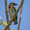 Smedskjeggfugl / Coppersmith Barbet