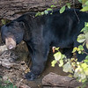 Malayabjørn / Sun bear<br /> Kaeng Krachan, Thailand 1.2.2018<br /> Canon 7D Mark II + Tamron 150 - 600 mm 5,0 - 6,3 G2 @ 150 mm