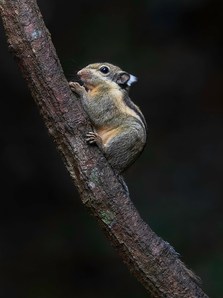 Burmese Striped Squirrel<br /> Kaeng Krachan, Thailand 31.1.2018<br /> Canon 7D Mark II + Tamron 150 - 600 mm 5,0 - 6,3 G2
