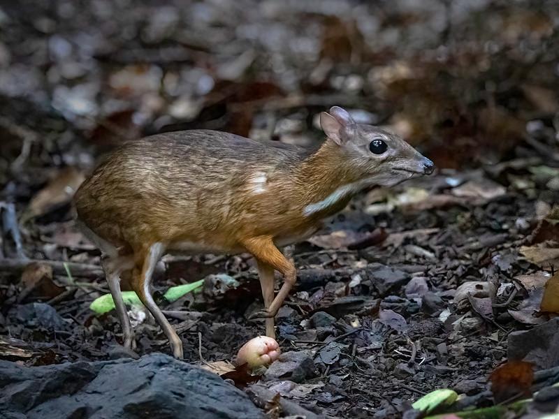 Dvergmoskusdyr / Lesser Mouse-deer<br /> Kaeng Krachan, Thailand 31.1.2018<br /> Canon 7D Mark II + Tamron 150 - 600 mm 5,0 - 6,3 G2 @ 300 mm