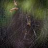 Golden Web Spider (Nephila pilipes)<br /> Kaeng Krachan, Thailand 1.2.2018<br /> Canon 7D Mark II + Tamron 150 - 600 mm 5,0 - 6,3 G2 @ 300 mm