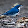 Asurnattergal / Sibirian Blue Robin<br /> Cat Tien, Vietnam 21.1.2020<br /> Canon 5D Mark IV + EF 500mm f/4L IS II USM