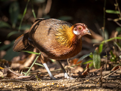 Bankivahane / Red Jungle Fowl<br /> Cat Tien; Vietnam 21.1.2020<br /> Canon 5D Mark IV + EF 500mm f/4L IS II USM + 1.4x Ext