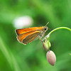 Small skipper / Farfalla del capitano (Thymelicus sylvestris)