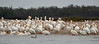 American White Pelicans use Sundown Island during the winter months as a safe resting place.  During their last visit, Warden Tim Wilkinson and his wife, Peggy, counted 320 of them hanging out on the island.  <em>Photo credit: Peggy Wilkinson</em>