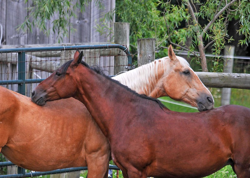 <span>Good friends Brandy (bay, age 9) and Sapphire (palomino, age 34) groomed each other. They showed that when horses are well-socialized, rank is less important than friendship. This friendship grew over 6 months, mainly due to Brandy's gentle persistence.</span>