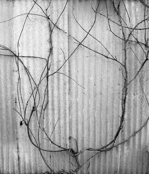 Vines on Corrugated Building