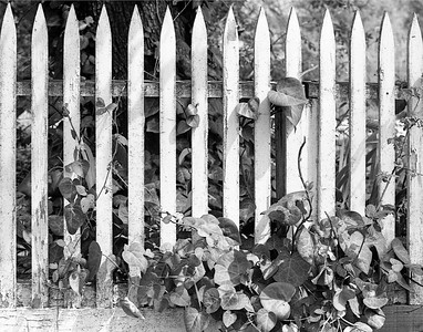Picket Fence and Ivy