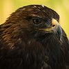 Sleepy Golden Eagle