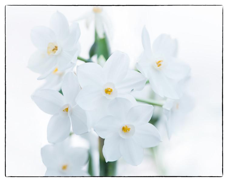 Daffodil Beauty