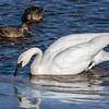Trumpeter Swan reflects