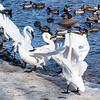 Agitated Swans
