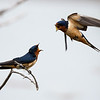 Barn Swallow Contest