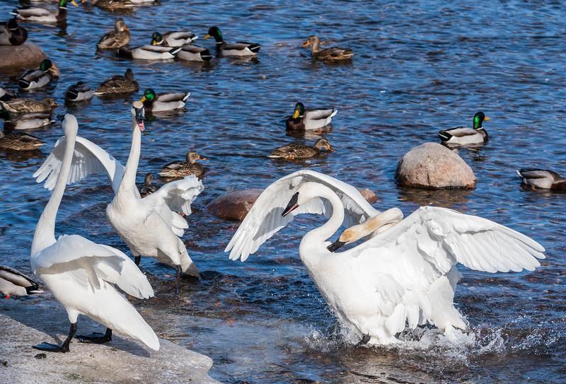 Trumpeter Swan Antics