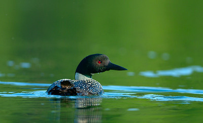Loon in North Western Wisconsin