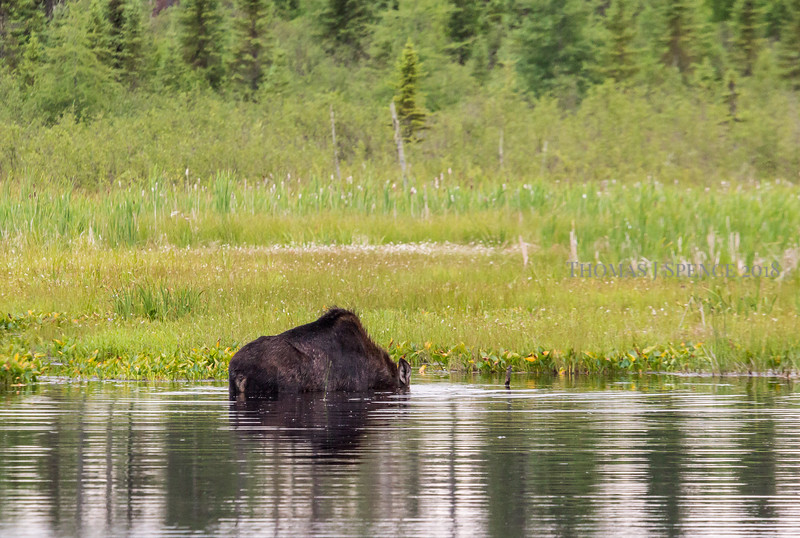 Moose enjoying a July evening dinner in the swamp - Superior National Forest, Minnesota.