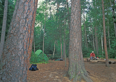 Large Norway Pines 001