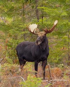 Bull Moose 2014_007