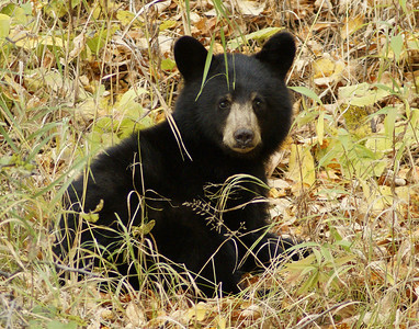 Black Bear Cub_PSundberg