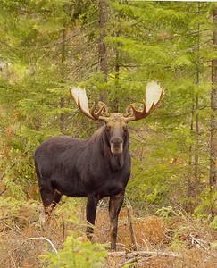 Bull Moose 2014_009