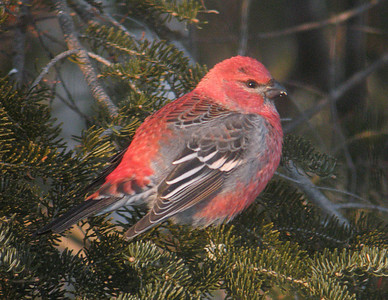 Pine Grosbeak 001