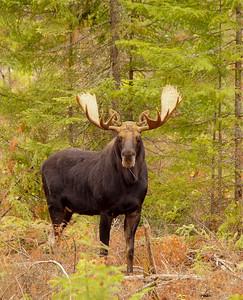 Bull Moose 2014_006