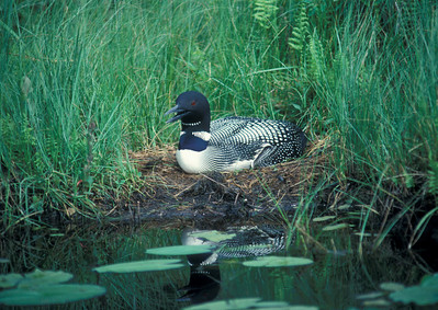 Common Loon 001