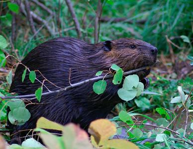 Beaver 001