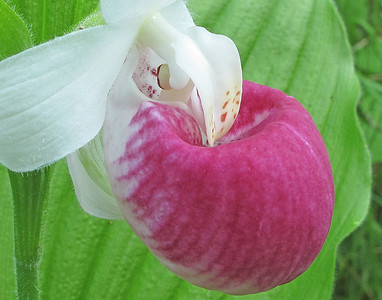 Lady Slipper 2_PSundberg