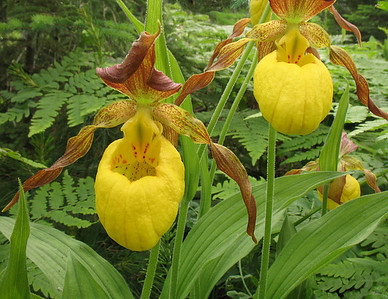 Yellow Lady's-Slipper 002