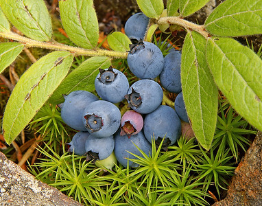 Wild Blueberries 1_PaulS