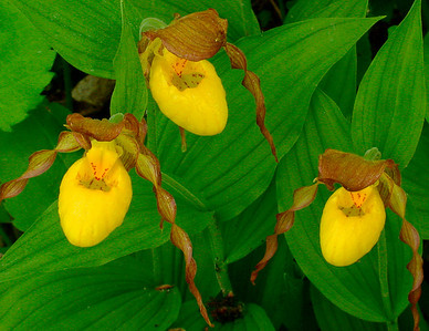 Yellow Lady's-slipper 006