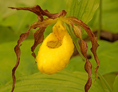 Yellow Lady's-Slippers 12_PaulS