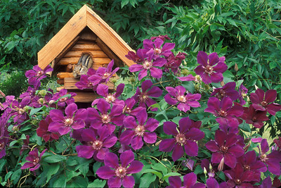 Clematis with Chipmunk 001