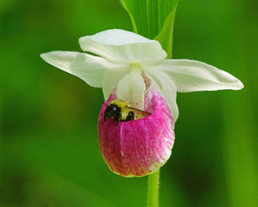 Pink & White Showy Lady's-Slipper 004