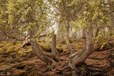 "CASCADE RIVER 4960  ""Cascade Cedars"""