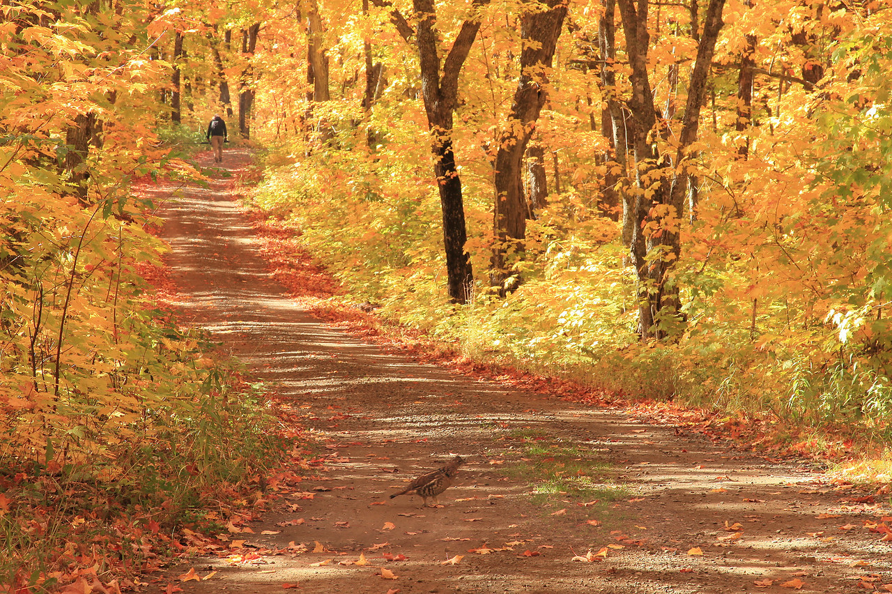 "AUTUMN 4030  ""Paths Almost Crossed""  Ruffed Grouse and hiker on a backwoods road in Northeast Minnesota."