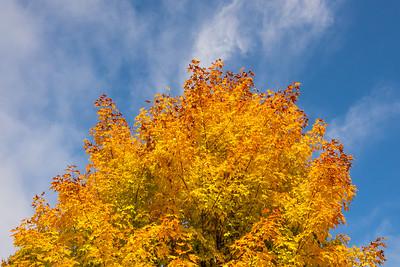 """""""Vibrant Maple"""""""